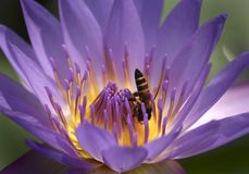Bee and water lilly flower. Bee visiting and gathering pollen from a water lilly flower stock photo
