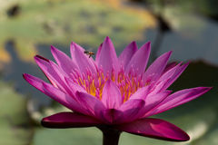 Bee and water lilly Stock Photo