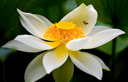 Bee & water lily Royalty Free Stock Photos