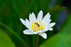 Bee & water lily royalty free stock photography