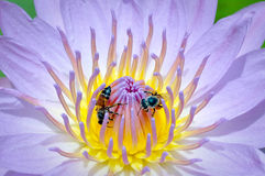 Bee and water Lily Blue Stock Photo