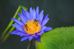 Bee and Water Lily Stock Photos