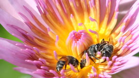 Bee with water lily or lotus, macro close up. Macro close up bee with water lily or lotus, macro close up stock footage