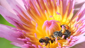 Bee with water lily. Bee with water lily, macro close up stock video footage