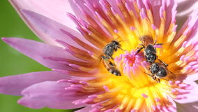Bee with water lily. Bee with water lily, macro close up stock video