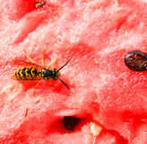 Bee on watermelon. A bee sat down on a watermelon Royalty Free Stock Photos