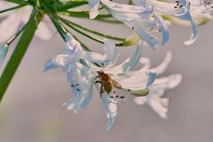 Bee in white African Agapanthus royalty free stock photography