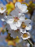 Bee and white almond flower Royalty Free Stock Images