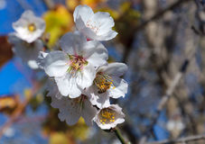 Bee and white almond flower Royalty Free Stock Photos
