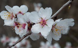 Bee and white almond flower Stock Images