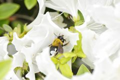 A bee on a white azalea flower Stock Photography