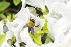 A bee on a white azalea flower Stock Photo