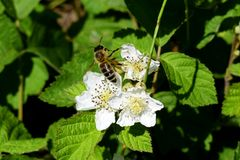 Bee and white blackberry flowers royalty free stock images