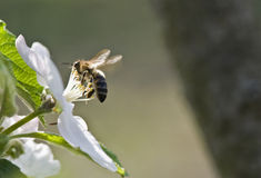 Bee on a white blossom Stock Photos