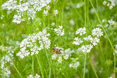 A bee on a white buckwheat flower. royalty free stock photo