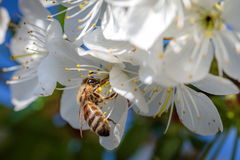 Bee on a white cherry blossom collecting pollen and gathering ne Royalty Free Stock Image