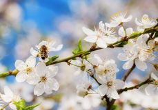 Bee in White cherry blossoms flowers branch Spring abstract royalty free stock images