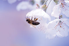 Bee on white cherry flower Stock Image
