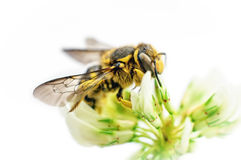 Bee on white clover flower Stock Images