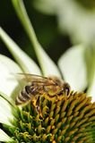 Bee on white cone Flower Royalty Free Stock Image