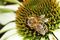 Bee on white Cone-flower Stock Photos