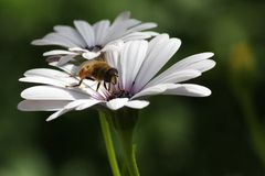 Bee on white daisy. Bee eats nectar from white daisy Royalty Free Stock Image