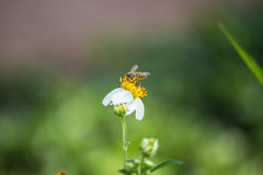 Bee on the white daisy Royalty Free Stock Image
