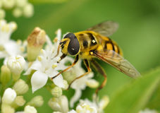 Bee on white flower Stock Image