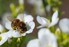 Bee on white flower. Beautiful bee on white flower Royalty Free Stock Photography