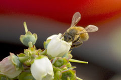 Bee on white flower Stock Images