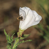 Bee on a white flower Stock Images