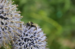 Bee on a white flower. Beautiful white flower with a bee in the centre, taken in England Royalty Free Stock Photography