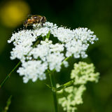 Bee on white flower blossom Royalty Free Stock Photography