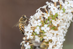 Bee on white flower of Buddleja davidii White Profusion. Against red brown background royalty free stock photo