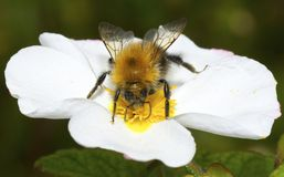 A bee on a white flower. Stock Photos