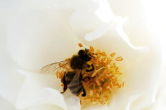 Bee on white flower. Closeup of a bee on a white flower Stock Photos