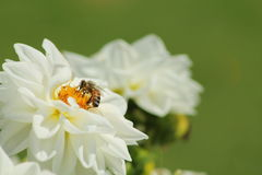 Bee on White Flower Royalty Free Stock Images