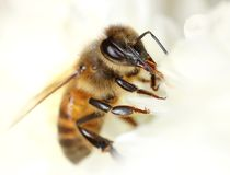 Bee in white flower. Bee collecting honey between white flower petals macro close-up stock photos