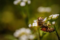 Bee on a white flower collecting pollen and gathering nectar to Royalty Free Stock Photos