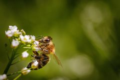 Bee on a white flower collecting pollen and gathering nectar to Royalty Free Stock Photography