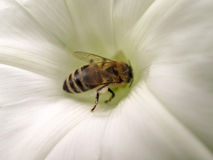Bee on white flower Royalty Free Stock Image