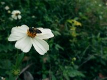 Bee on white flower in garden Royalty Free Stock Photography