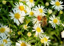 Bee on a white flower in Germany stock photos