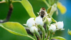 Bee on a white flower stock video footage