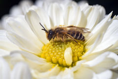 Bee on white flower macro photography Royalty Free Stock Image