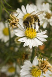 Bee on white flower at midday Stock Images