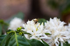 Bee white flower Royalty Free Stock Images