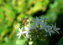 Bee on White Flower Stock Photos