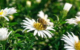Bee on a white flower Stock Image