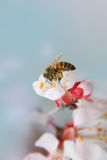 Bee on the white flower Royalty Free Stock Images